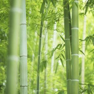 Bamboo Tabasheer